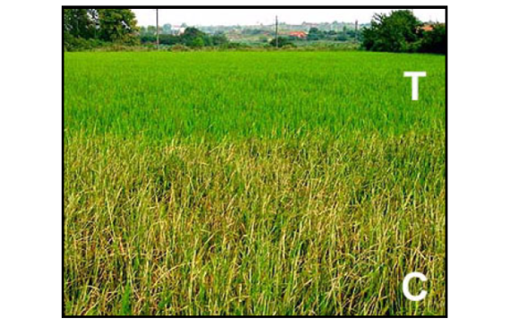 Rice Biotechnology: A Need for Developing Countries